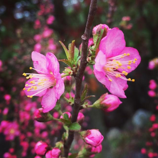 去年亡くなった祖母。その祖母からもらって庭に植えていた梅。今年も綺麗に咲きましたよ。